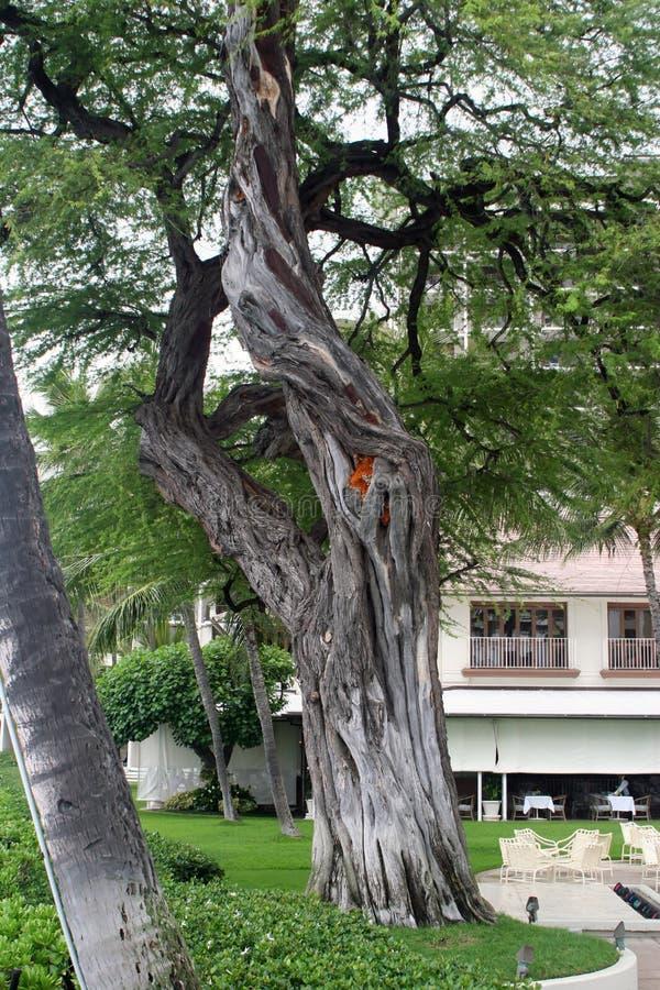 albero del banyon fotografie stock libere da diritti