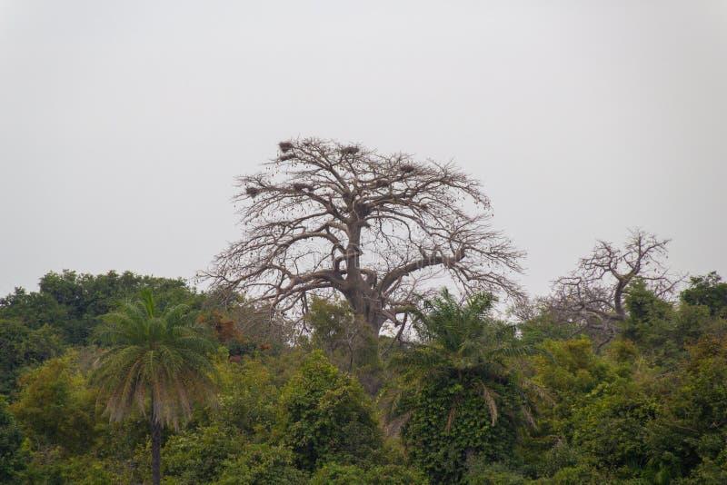 Albero del baobab con i nidi dell'uccello fotografie stock libere da diritti