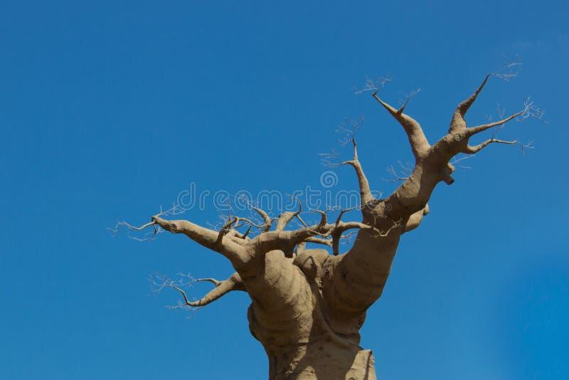 Albero del baobab sul cielo 05-15-2015 immagine stock libera da diritti