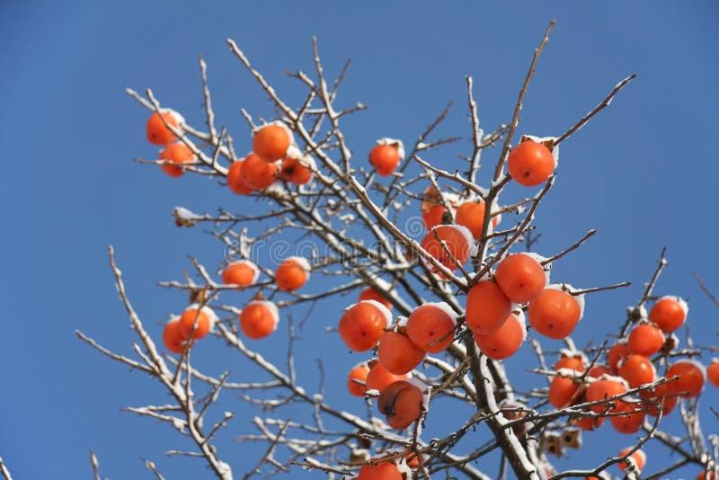 Albero del cachi in inverno immagine stock immagine di for Albero di cachi