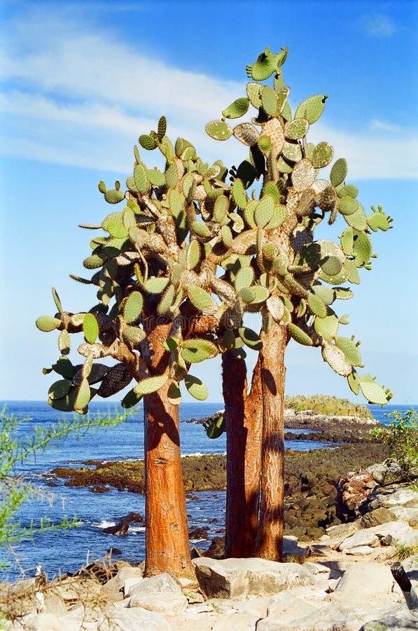 Albero del cactus del Galapagos fotografia stock libera da diritti
