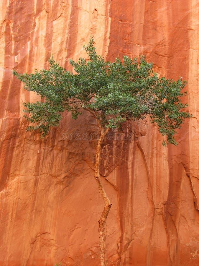 Download Albero del canyon immagine stock. Immagine di rosso, selva - 3879629