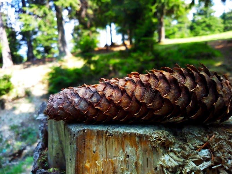 Albero del cono del pino immagine stock