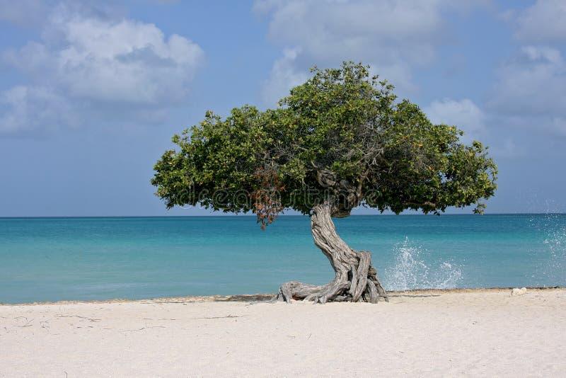 Albero del Dividivi sulla spiaggia fotografia stock