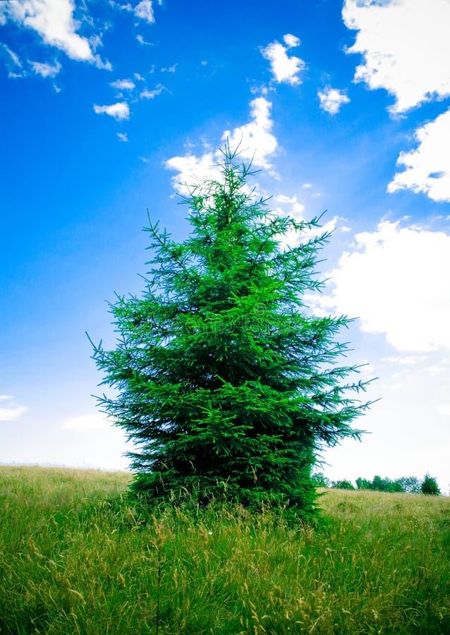 Albero del evergreen dell'abete fotografia stock libera da diritti