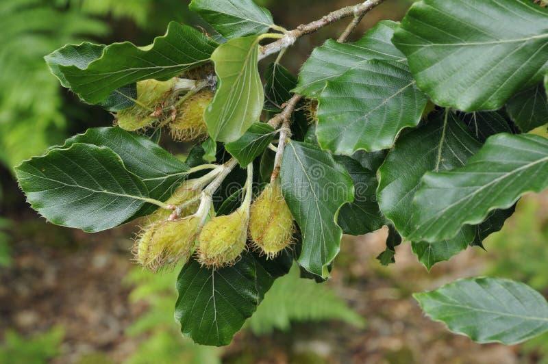 Albero del faggio sull'albero immagine stock