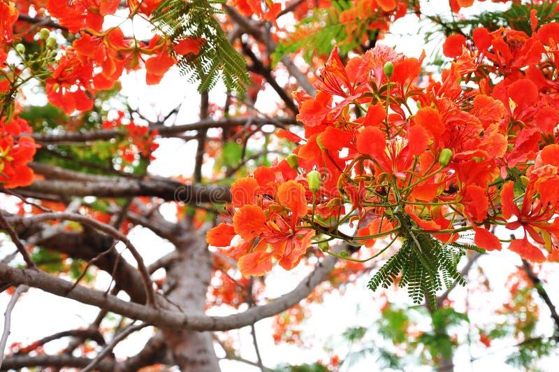 Albero del fiore del Guppy fotografie stock