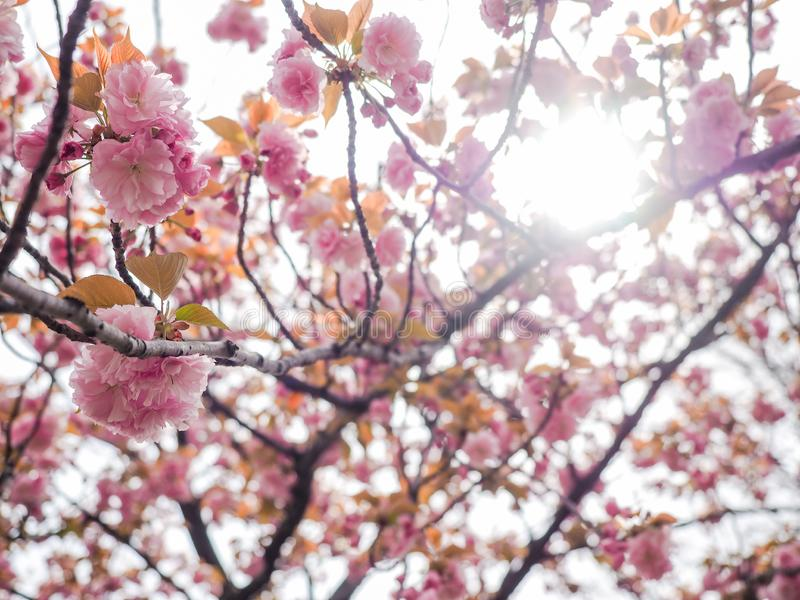 Albero del fiore di ciliegia o fioritura piena di serrulata del Prunus nel parco locale del Giappone fotografie stock libere da diritti