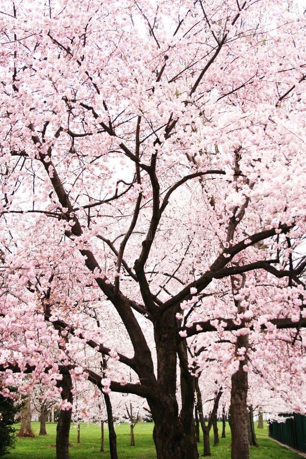 Albero del fiore di ciliegia in piena fioritura immagini stock libere da diritti