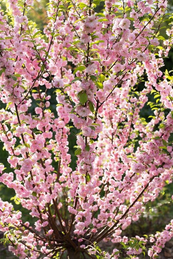 Albero del fiore di ciliegia sbocciante immagine stock