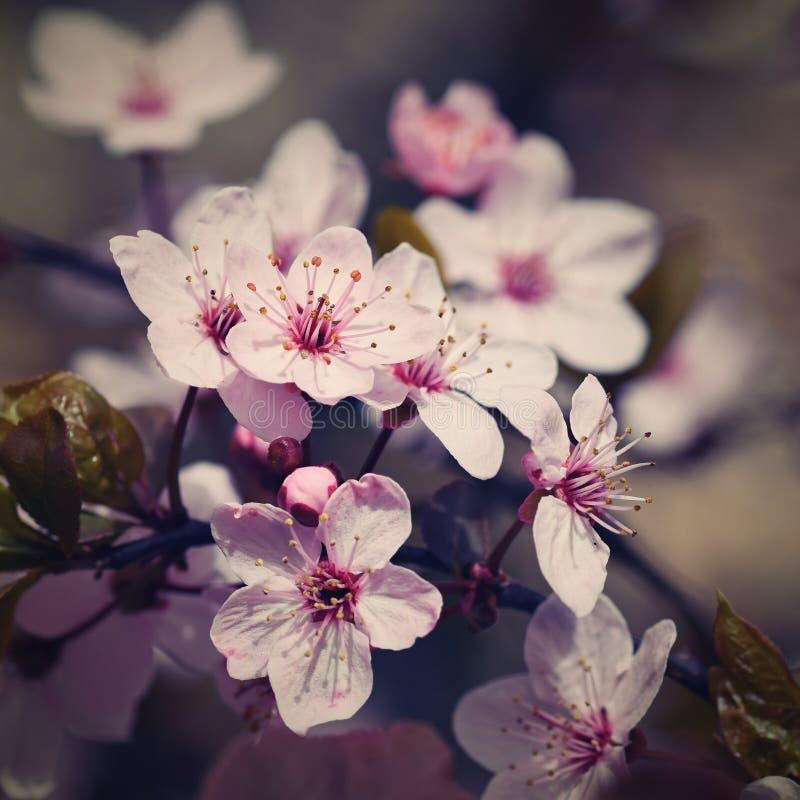 Albero del fiore fondo della natura nel giorno soleggiato Piovuto appena sopra Bello frutteto e fondo vago estratto Concetto per  fotografia stock libera da diritti