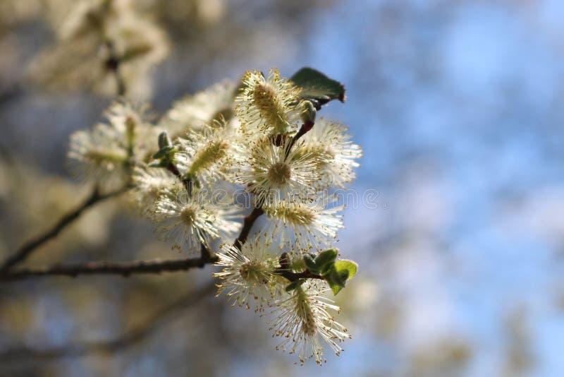 Albero del fiore in Kalmthoutse Heide immagine stock