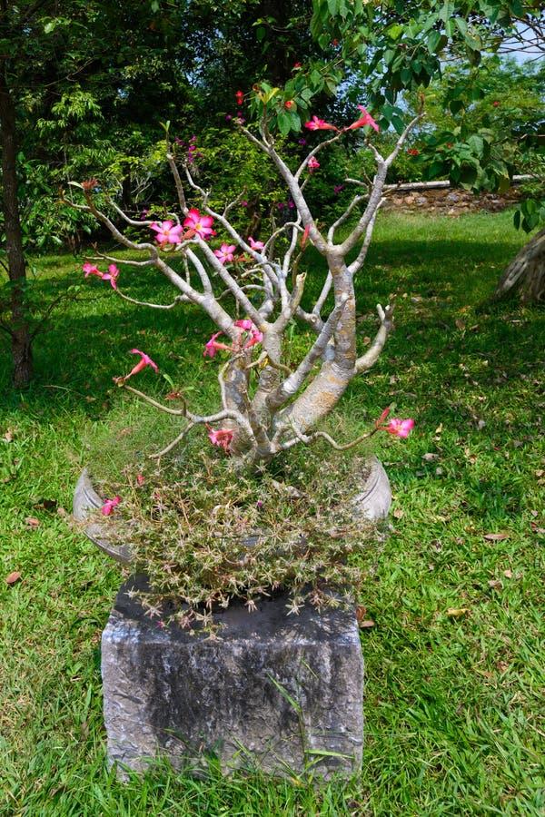Albero del frangipane dei bonsai in giardino di un monastero, tonalità, Vietnam immagine stock