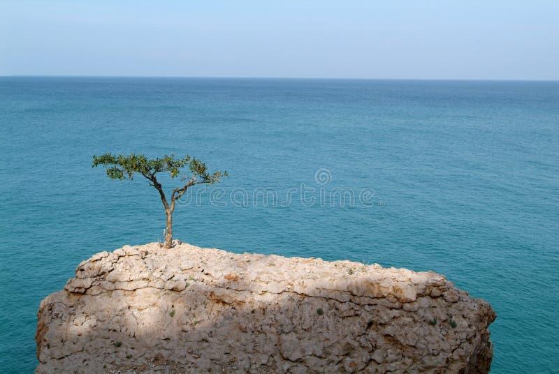 Albero del Frankincense di Socotran all'isola di Socotra fotografia stock libera da diritti