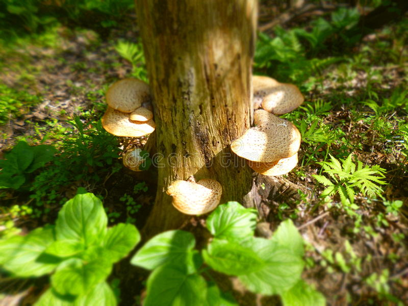 Albero del fungo fotografia stock libera da diritti