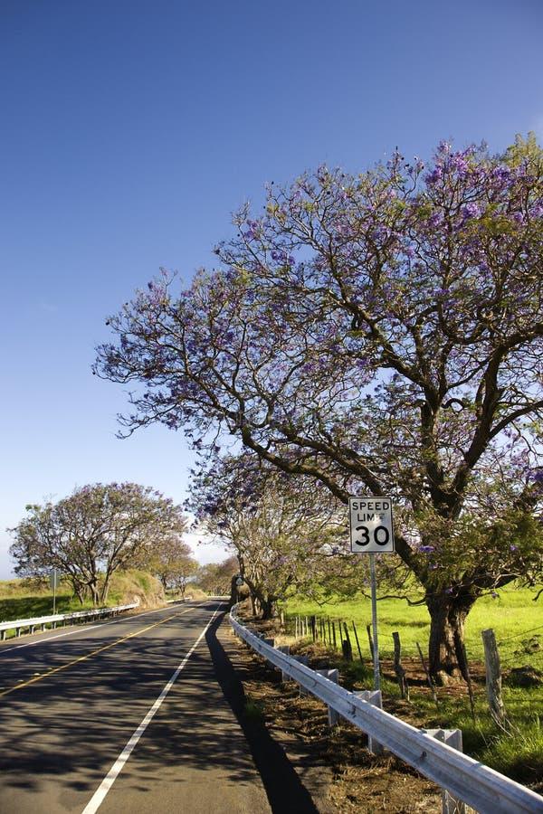 Albero del Jacaranda e della strada in Hawai. fotografia stock