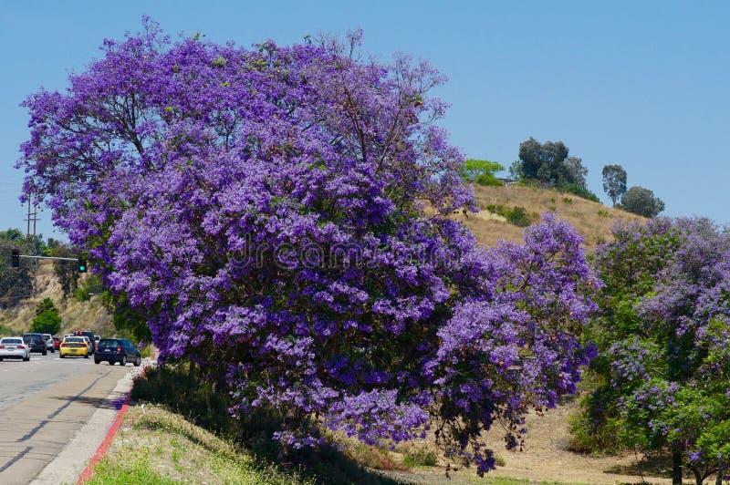 Albero del Jacaranda in primavera completa Bloomqq fotografie stock