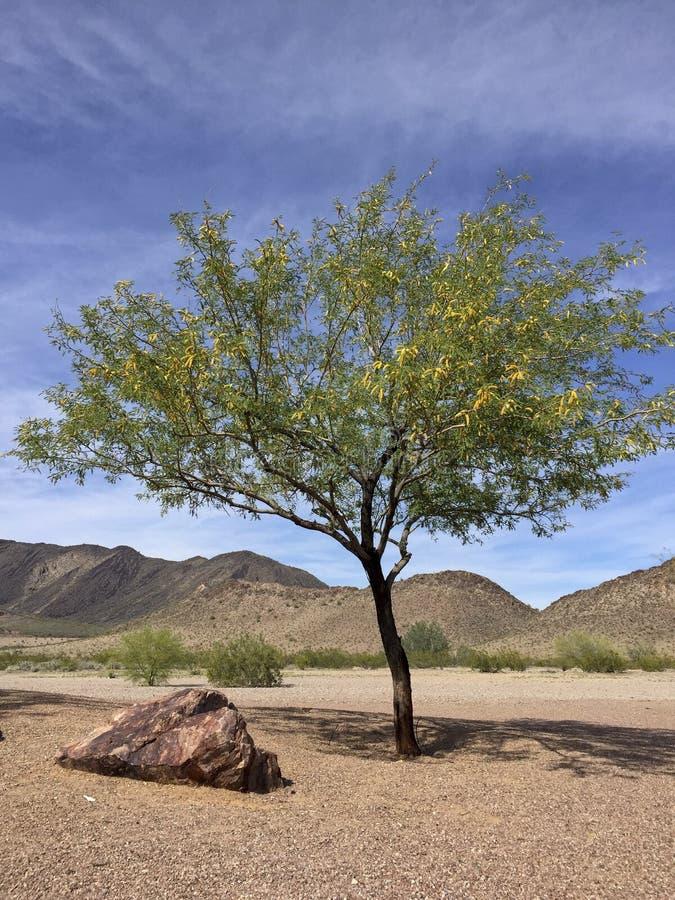 Albero del Mesquite nel deserto dell'Arizona fotografia stock libera da diritti