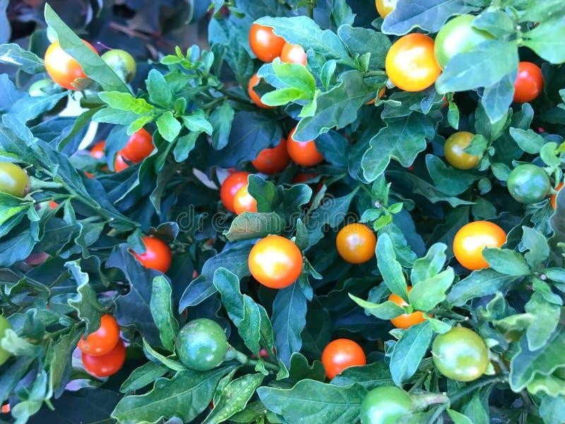 Albero del pomodoro ciliegia fotografie stock