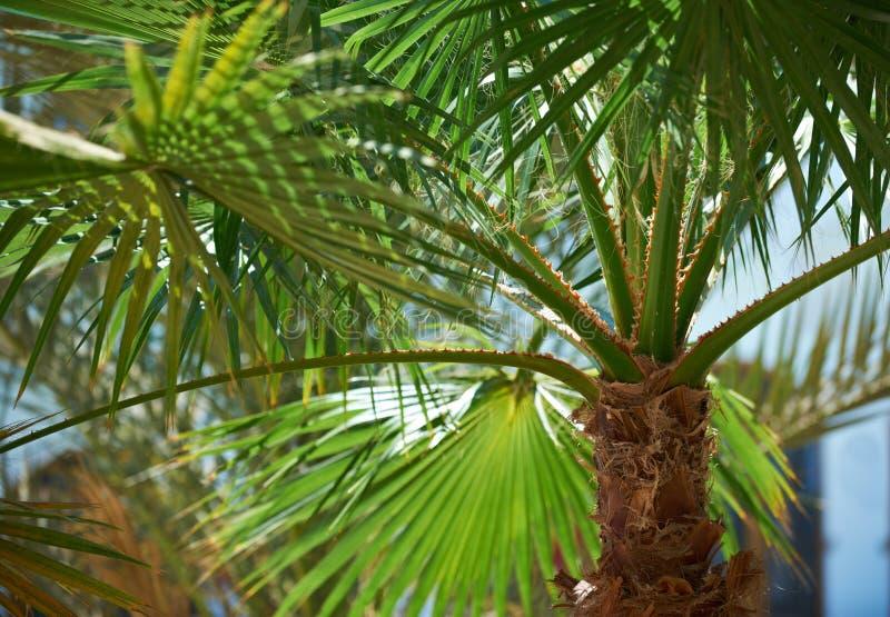 Albero del ramo della palma sotto cielo blu fotografie stock