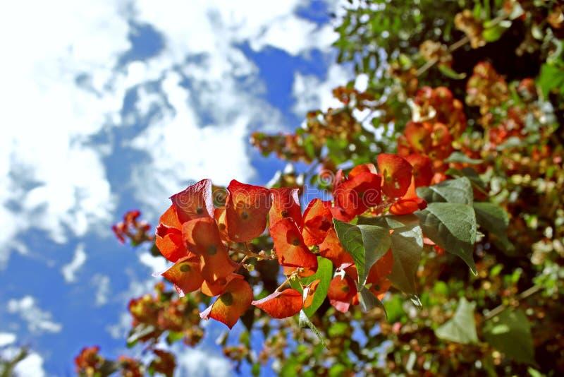 Albero del ramo di rosso di arancia del fiore della buganvillea immagine stock libera da diritti
