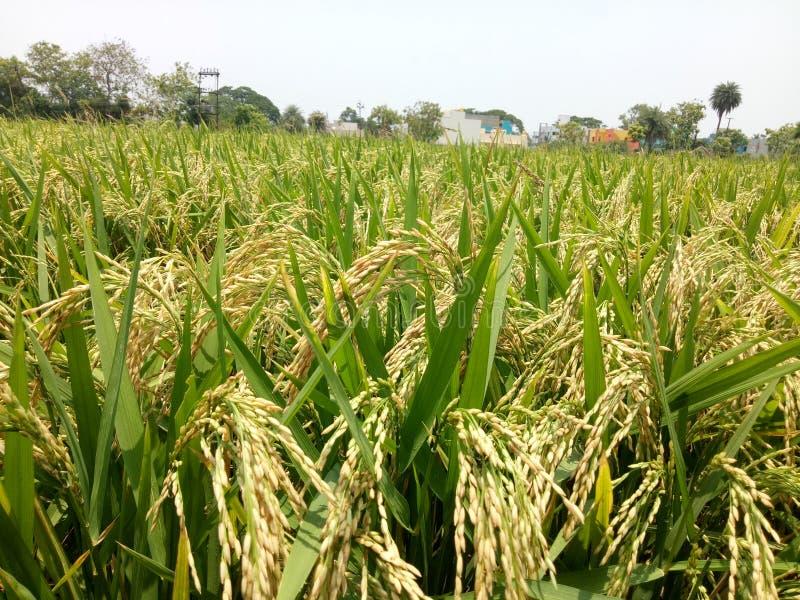 Albero del riso di Tamil Nadu immagine stock