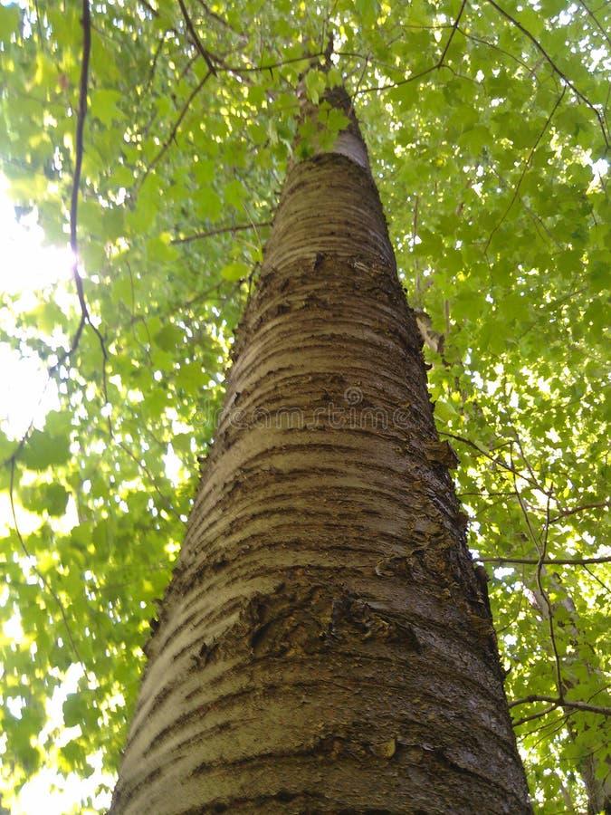 Albero del terreno boscoso fotografia stock libera da diritti