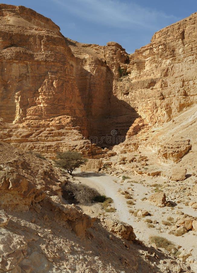 Albero dell'acacia al fondo del canyon del deserto al tramonto immagini stock