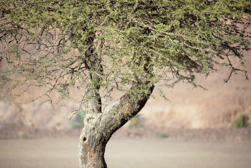 Albero dell'acacia del Sahara (acacia raddiana). fotografia stock libera da diritti