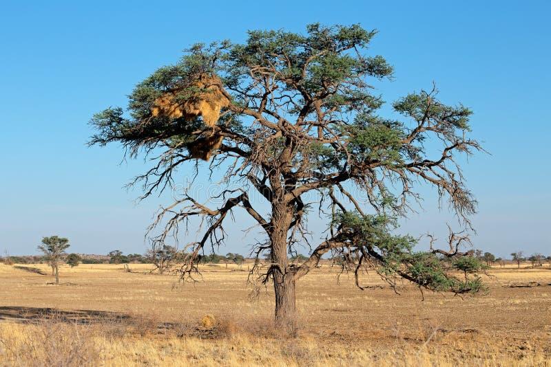 Albero dell 39 acacia e nido del tessitore immagine stock for Acacia albero