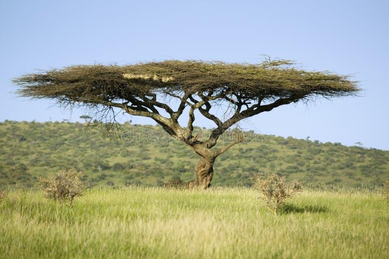 Albero dell 39 acacia in erba verde di tutela della fauna for Acacia albero
