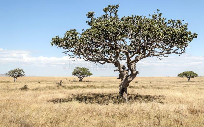 Albero dell'acacia in Tanzania fotografia stock