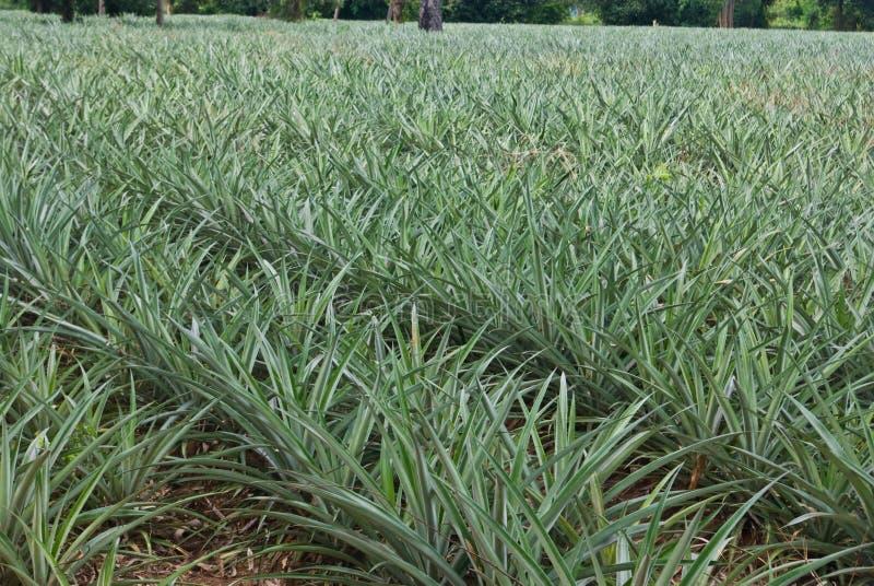 Albero dell'ananas nell'azienda agricola immagini stock libere da diritti