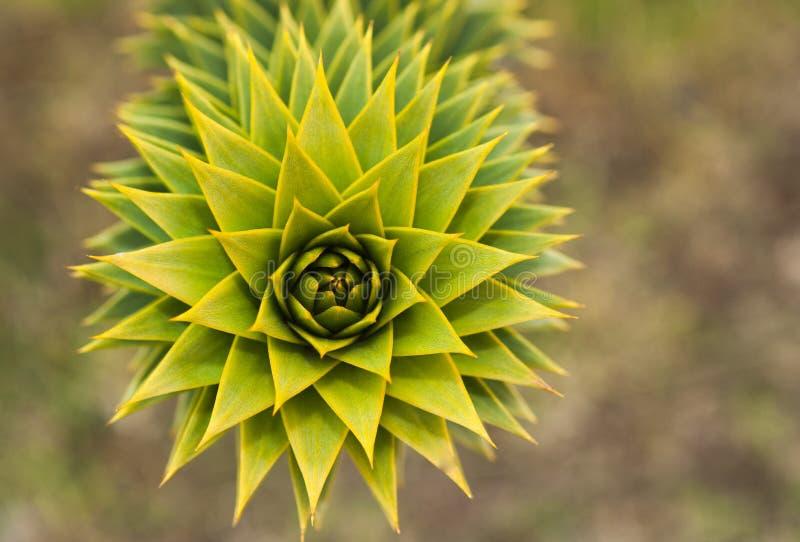 Albero dell'araucaria di araucaria araucana fotografie stock libere da diritti