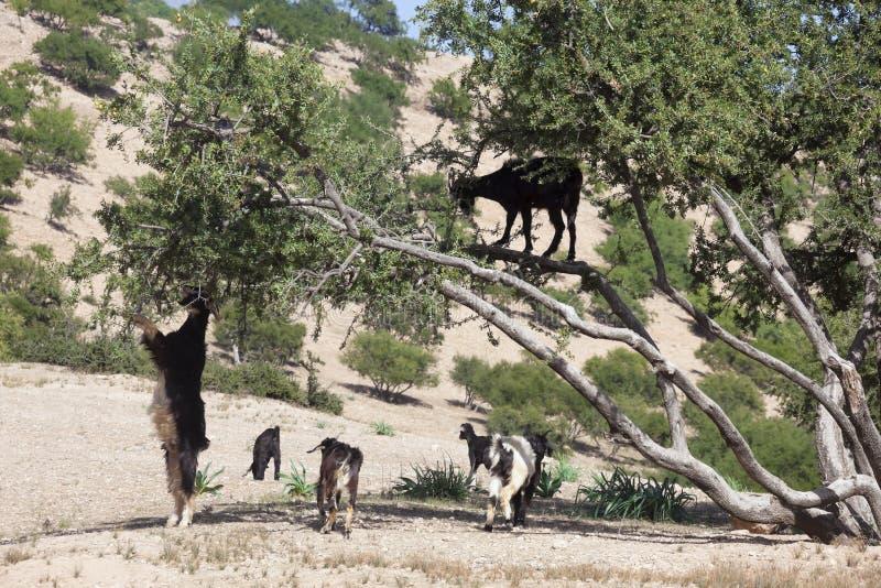 Albero dell'argania spinosa (argania spinosa) con le capre. immagini stock libere da diritti