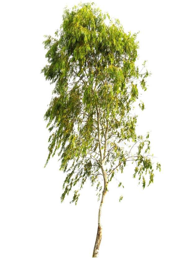 Albero dell'isolato su fondo bianco fotografie stock