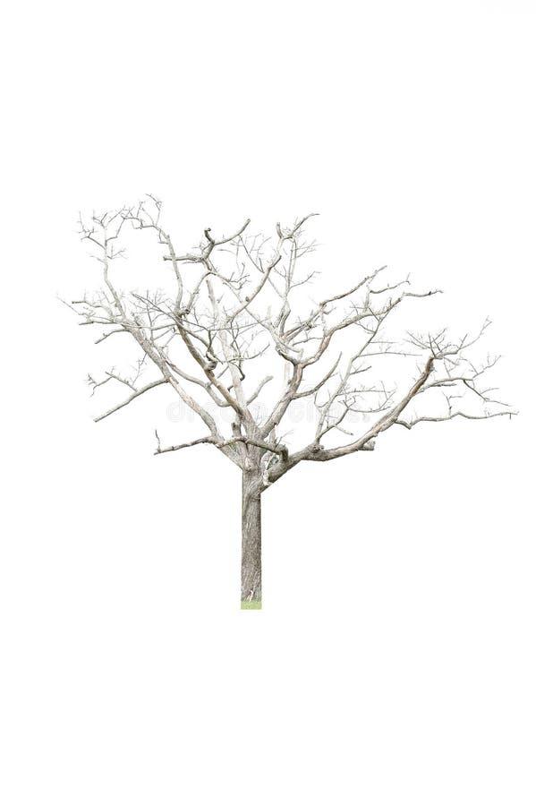 Albero dell'isolato su fondo bianco fotografia stock libera da diritti
