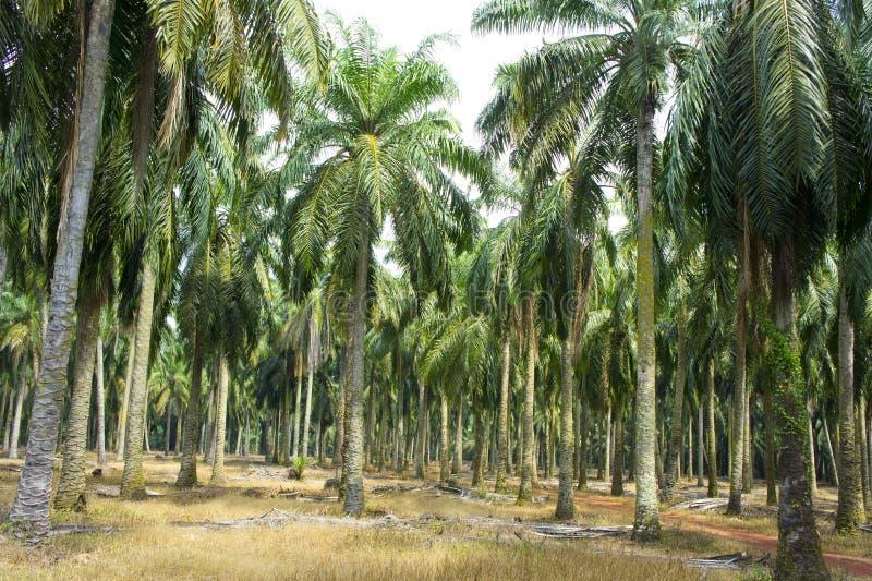 Albero dell'olio di palma fotografie stock libere da diritti