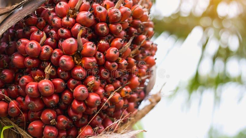 Albero dell'olio di palma fotografia stock