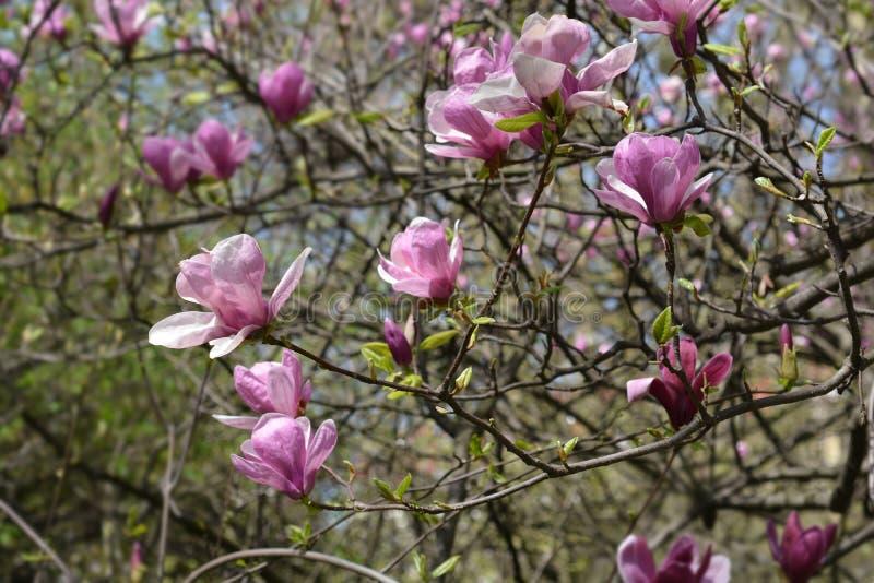 Albero della magnolia fotografia stock libera da diritti