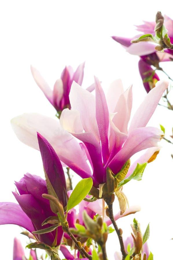 Albero della magnolia fotografia stock