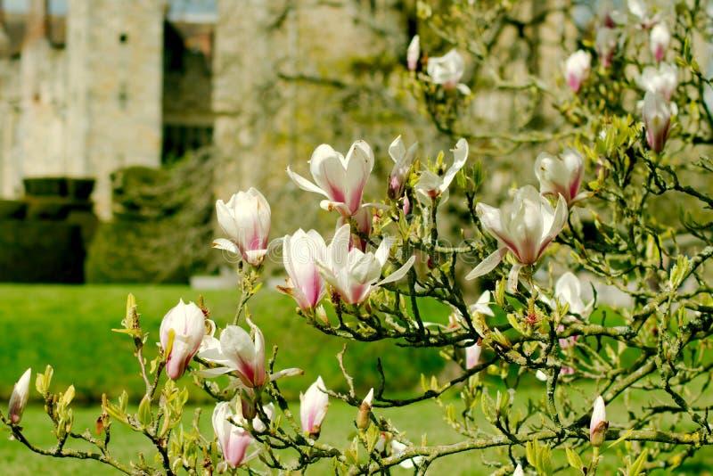 Albero della magnolia immagine stock