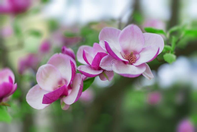 Albero della magnolia in bei fiori porpora della fioritura in primavera immagini stock