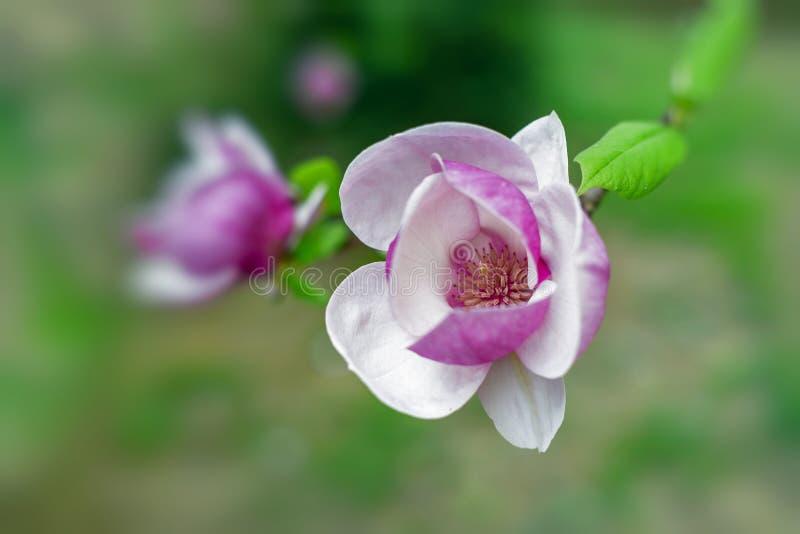 Albero della magnolia in bei fiori porpora della fioritura in primavera fotografie stock