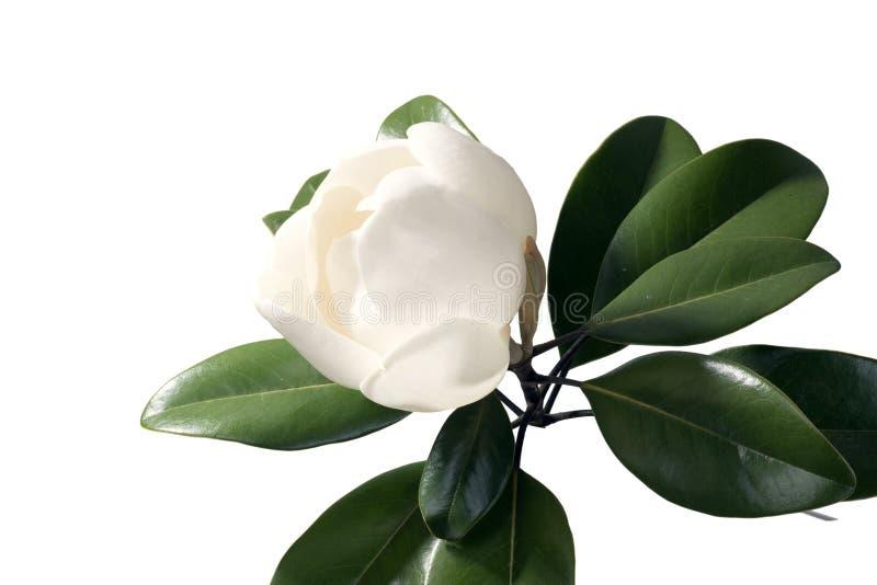Albero della magnolia che apre un germoglio enorme isolato su fondo bianco fotografia stock libera da diritti