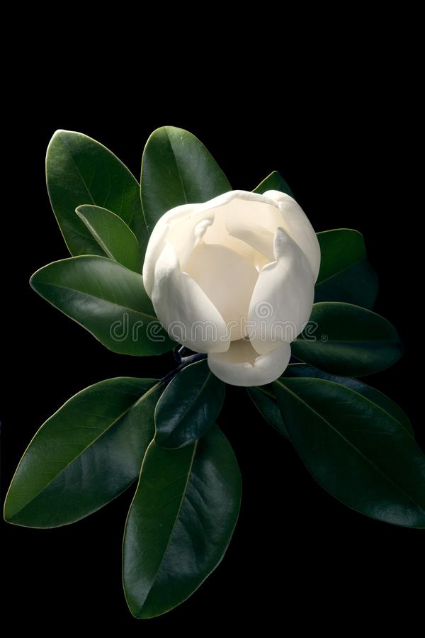 Albero della magnolia che apre un germoglio enorme isolato su un fondo nero fotografia stock