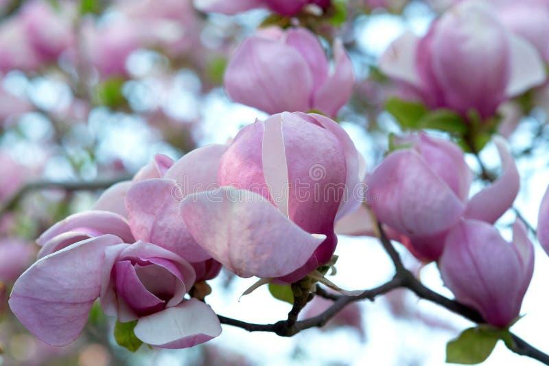 Albero della magnolia con i grandi fiori rosa immagine stock
