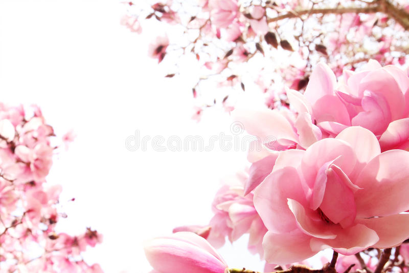 Albero della magnolia della sorgente in fioritura immagine stock