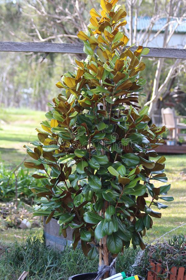 Albero della magnolia nel mio giardino fotografia stock libera da diritti