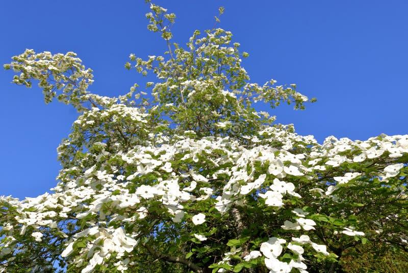 Albero della magnolia della primavera e fiori bianchi immagine stock libera da diritti